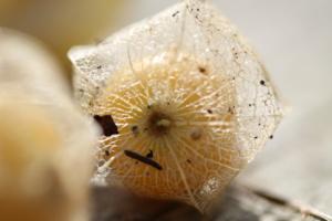 Solanum-Frucht